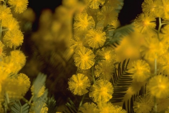 mimosa20flor