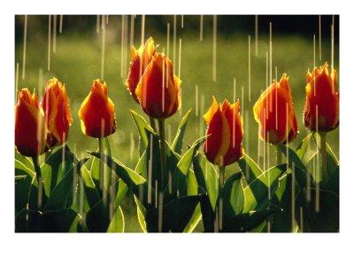 rain-falling-on-tulips-photographic-print-c12689455